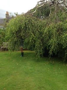Lexy's weeping birch