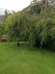 Lexy's weeping birch