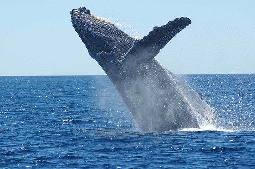 humpback-whale-1945416__340