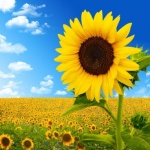 sunflower_image_06_hd_pictures_167025